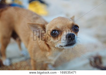 small puppy dog pet eyes purebred friend ears humor pup afraid fear fright
