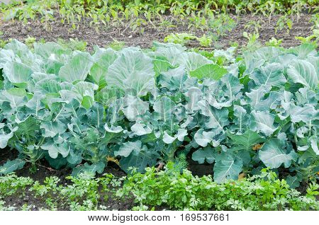 Broccoli plants on a vegetable garden ground