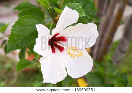 White hibiscus has red color in the center yellow pollen and white leaves.So wondrful.