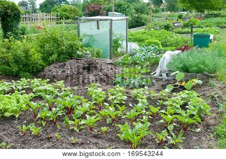 Fresh beetroot plants  on a vegetable garden ground with a dunghill in the background