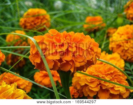 Beautiful orange flowers in the garden of Margaret Island, Budapest