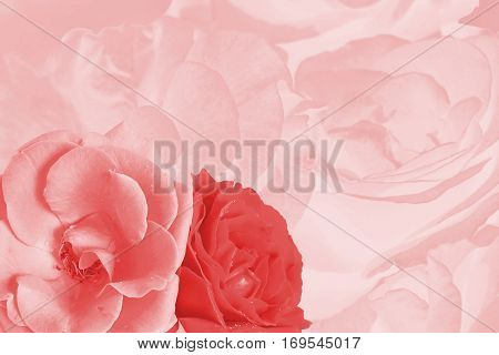 Celebratory background with roses photo toned in pink. Template for holiday greeting card
