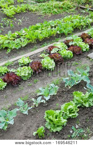 Lettuce and other vegetables a vegetable garden ground.