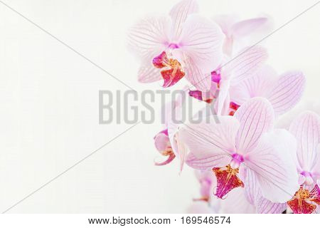 Beautiful Phalaenopsis orchid branch with striped white and pink flowers on white background with space for text