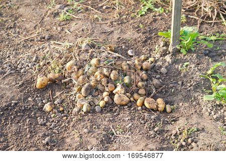 Some small leftover potatoes on a vegetable garden ground