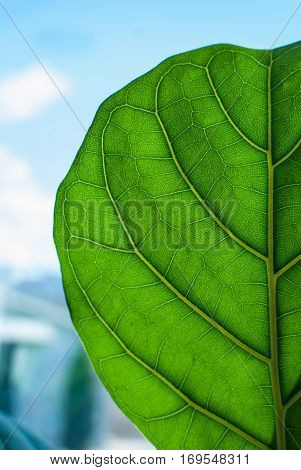 Large green leaf back side close up with visible leaf nerves on a blue background