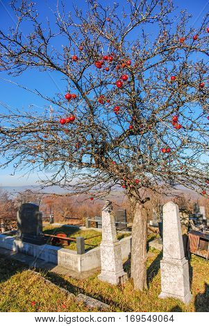 Tree on a cemetaey with red apples on the branches during the winter with tomb stones beneath