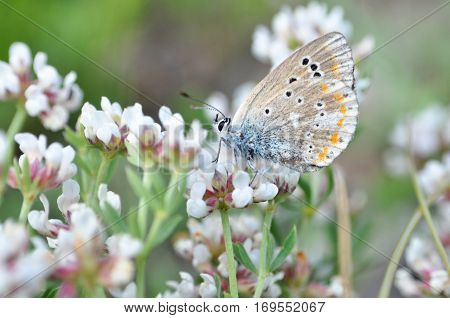 Polyommatus dorylas, Common Blue butterfly - Lycaenidae