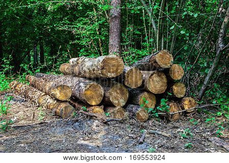 Lumber logs stacked in the decideous forest