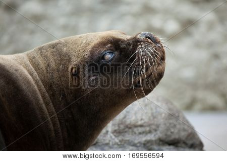 California sea lion (Zalophus californianus). Wildlife animal.