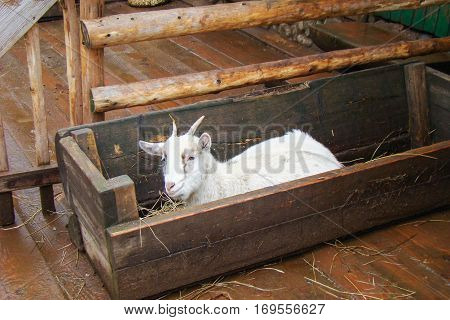 Goat in a wooden trough. Winter white goat eating hay from trough/