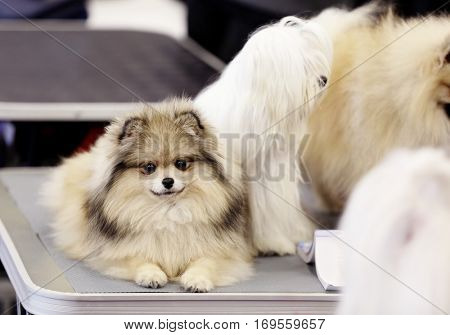 Cute fluffy lap-dogs on special stand at show