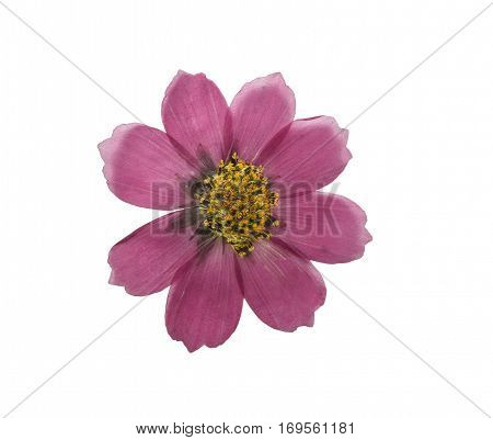 Pressed and dried flower kosmeya. Isolated on white background. For use in scrapbooking floristry (oshibana) or herbarium.