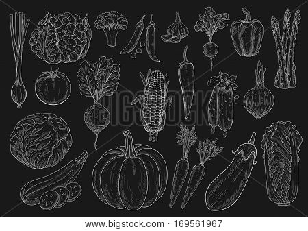 Vegetables chalk sketch icons of cauliflower and broccoli, chinese napa cabbage, onion leek, zucchini squash and green pea, tomato, cucumber and pumpkin, beet, asparagus and eggplant, garlic, corn and pepper on blackboard