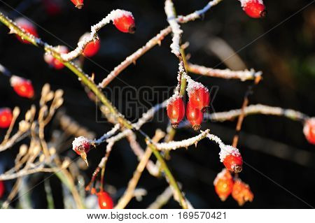 Red frozen rosehip in the afternoon sun with blurred background