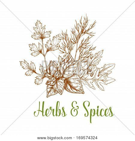 Spices and aromatic herbs bunch of sketched parsley, arugula and basil or mint and peppermint leaves and rosemary. Herbal spicy culinary condiments or aroma flavoring plants for grocery store, farmer market or product pack design