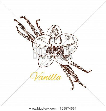 Vanilla sketch icon. Vector isolated flavoring plant flower with dried fruits. Herbal aromatic spice for chocolate or dessert culinary condiment, perfumery or essential oil aroma extract ingredient