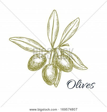 Vector sketch of olive tree branch with green olives fruits. Isolated design for olive oil label, vegetarian vegetable food salad ingredient and seasoning. Olive tree symbol for Italian, Mediterranean, Greek or Spanish cuisine