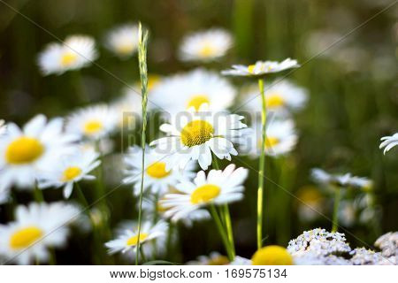 Beautiful nature scene with blooming daisies in the sun.