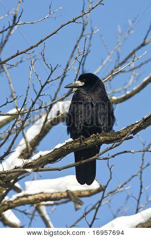 rook (Corvus frugilegus) in a winter scene