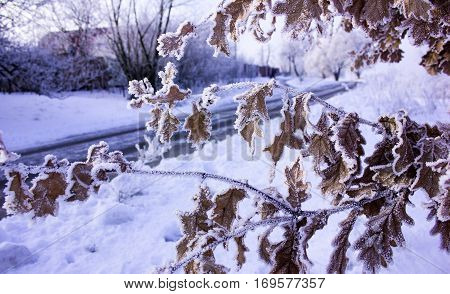 oak leaves with hoarfrost. Winter nature. oak leaves with hoarfrost. Winter nature.