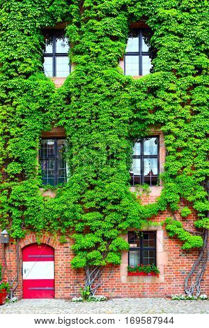 House overgrown with ivy - urban ecology concept