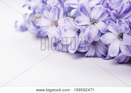 Purple hyacinth flowers on white background isolated. Macro shot
