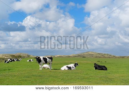 Dutch cows in green meadows landscape at wadden island Terschelling