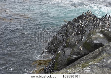 Rockhopper Penguins (Eudyptes chrysocome) coming ashore on the rocky cliffs of Bleaker Island in the Falkland Islands.