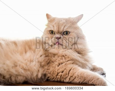 Cat lovely animal and pet isolated on white background
