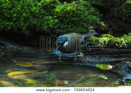 Bird Beautiful Black-throated Laughingthrush