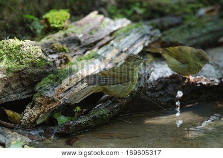 Grey-eyed Bulbul (iole Propinqua ) In Nature