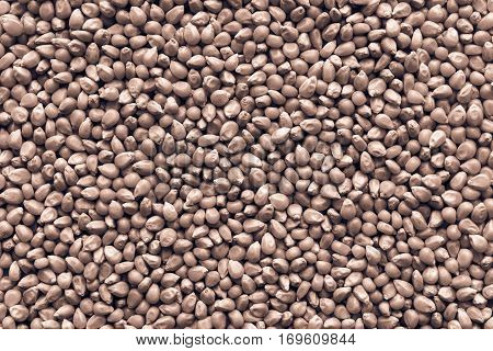 dried grains of corn for a background and texture closeup of brown color