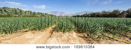 Advanced agriculture in desert area of valley of Arava, Israel