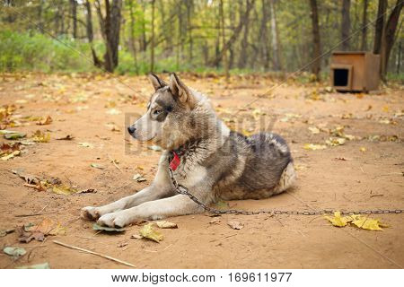 Husky dog with chain lies near wooden kennel in autumn yellow park