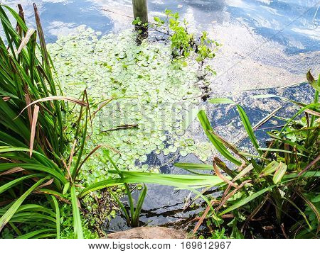 the lake surface with green algae and sea grass with sunbeams