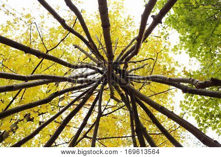 Wooden frame for national wigwams in yellow autumn forest, under view