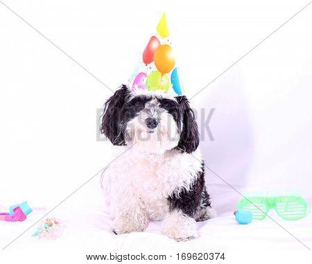 High Key aka Bright White isolated on white image of a cute dog celebrating New Years Eve. Party Animal. Isolated on white.
