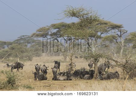 small herd of wildebeest having a rest under an acacia tree in the savannah hot day