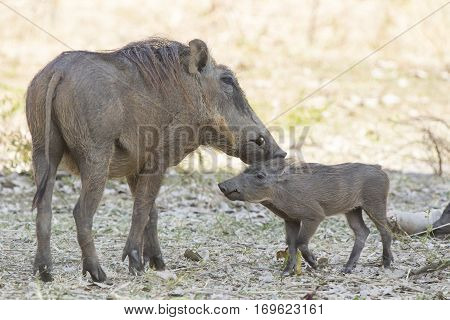 COMMON WARTHOG female and cub in savanna encountered a hot day