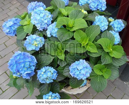 Blooming vibrant blue Hydrangea flowers on its tree