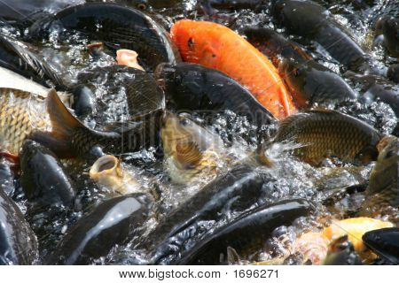 Fishes Swimming In The Pound