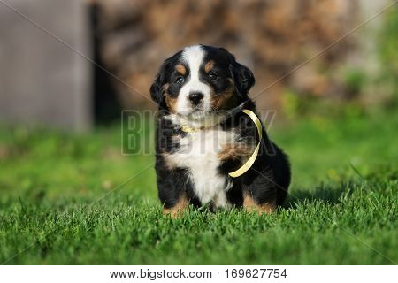 bernese mountain dog puppy sitting outdoors in summer