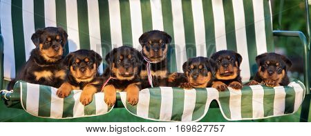 group of rottweiler puppies together on a bench