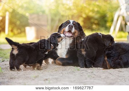 happy bernese mountain dog with her puppies