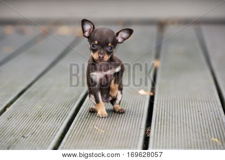 tiny brown puppy sitting outdoors on wooden floor