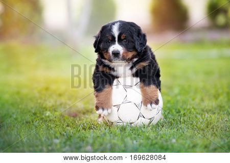 funny bernese mountain dog puppy with a football ball