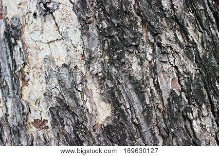 Bark  big tree is elderly underneath nature.