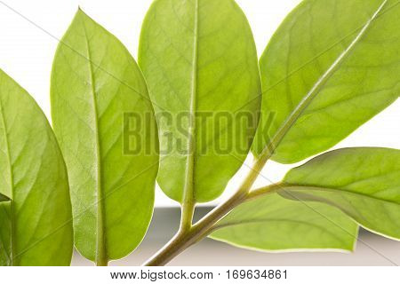 Leaves of an indoor plant photographed in backlight. Horizontal shot with natural light.