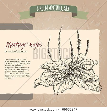 Plantago major aka broadleaf plantain or fleawort sketch. Green apothecary series. Great for traditional medicine, gardening or cooking design.